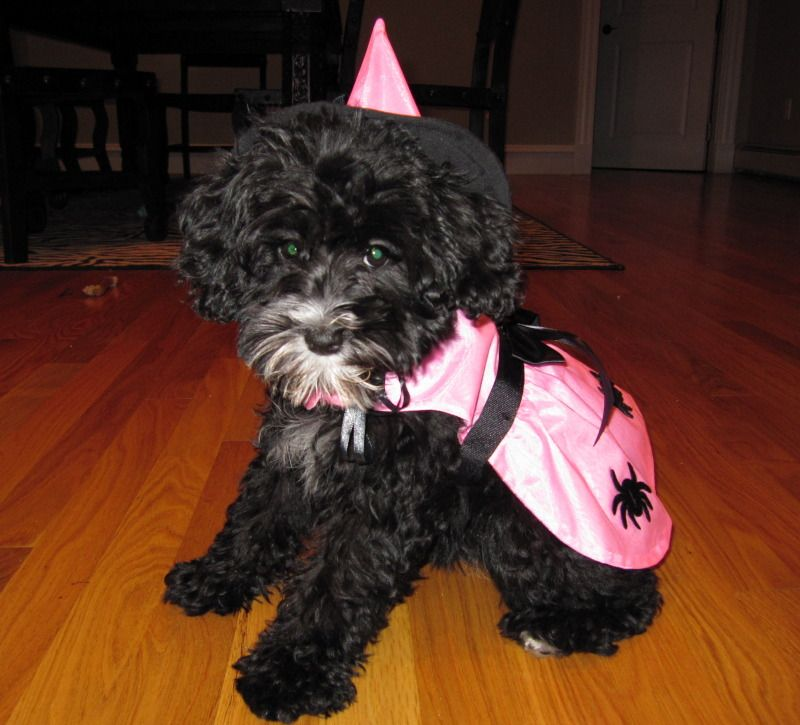 Schnoodle Dog Witch Costume Halloween Dog Witch Costume Schnoodle Dog Schnoodle