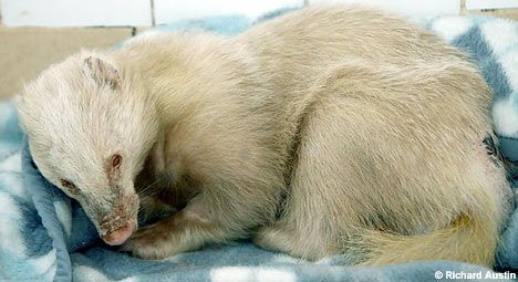 albino badger without any stripes