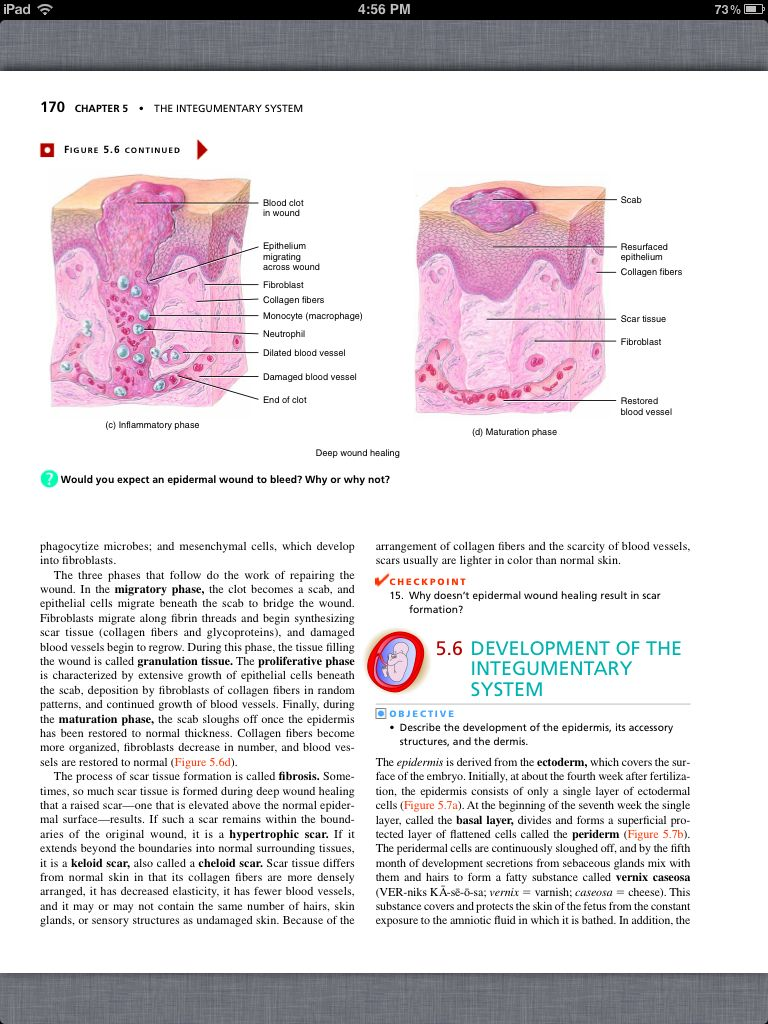 Modern Essentials Of Human Anatomy And Physiology Chapter 5 Vignette ...