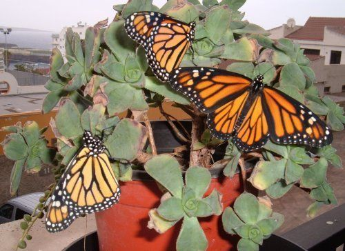 Canary Islands butterfly gardening in Tenerife