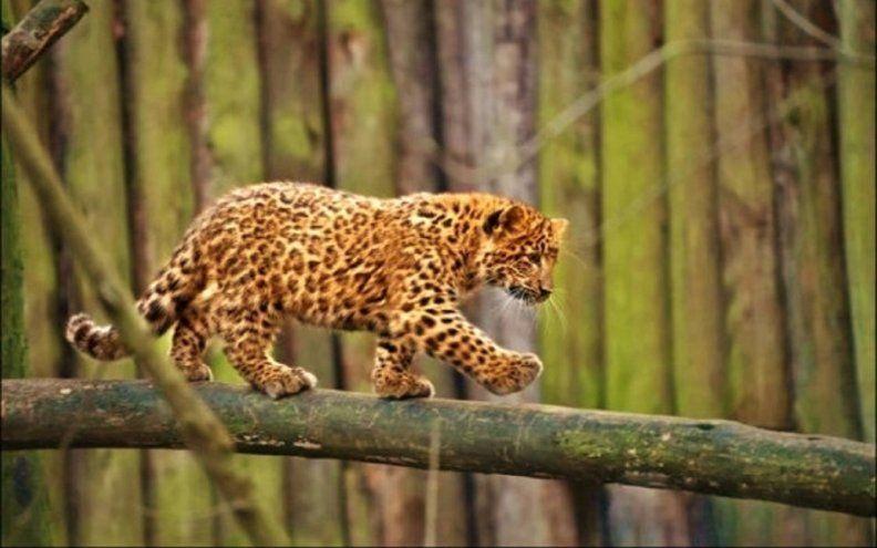Panther cub - panther_cub.jpg