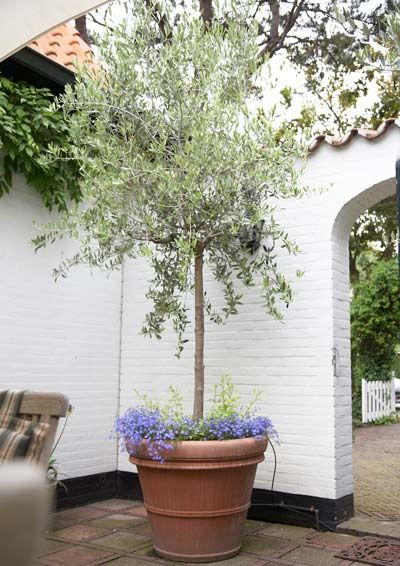 Arbequina Olive Tree Potted Trees Potted Olive Tree Arbequina