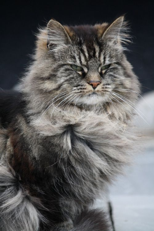 Shacki A Mix Between Norwegian Forest Cat And Domestic Short Hair