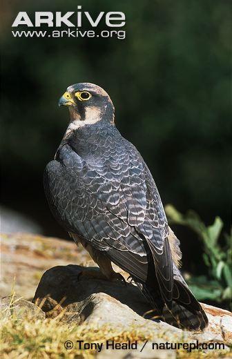 Female lanner falcon, dorsal view