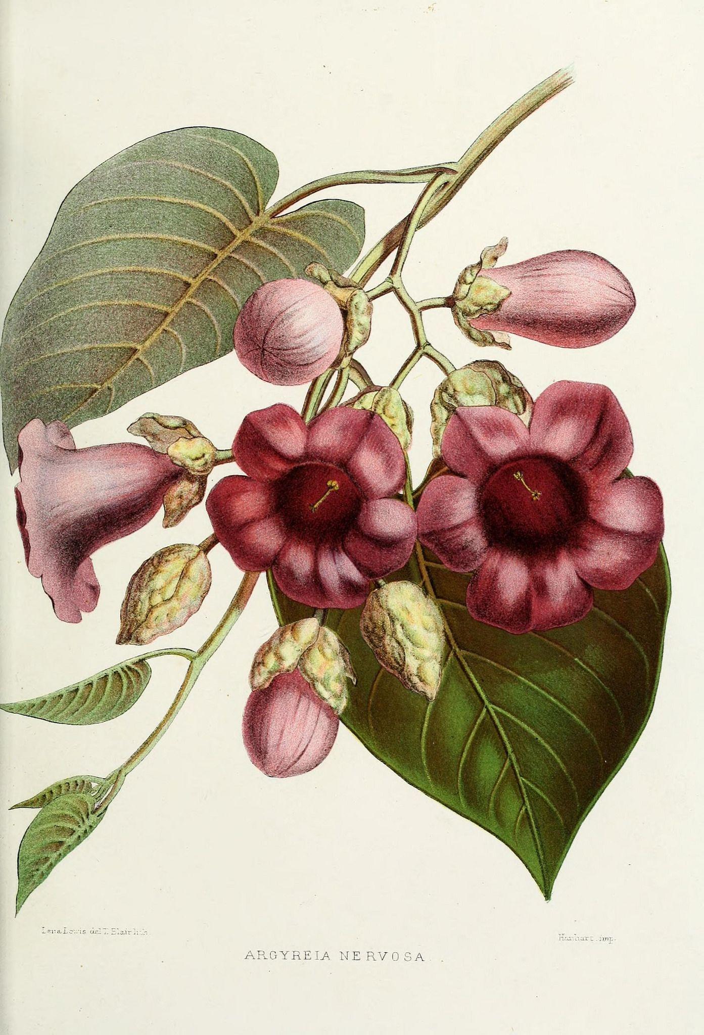 n104_w1150 Botanical illustration vintage, Botanical