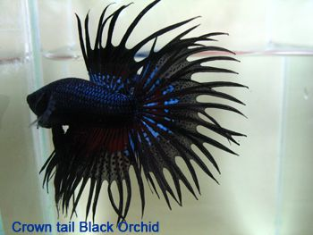 Black orchid crowntail and other varieties bettas are a for Black betta fish