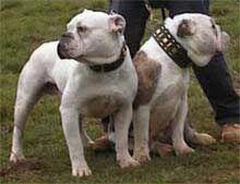 Old Time Dorset Bulldog Bulldog Bully Dog Old English Bulldog