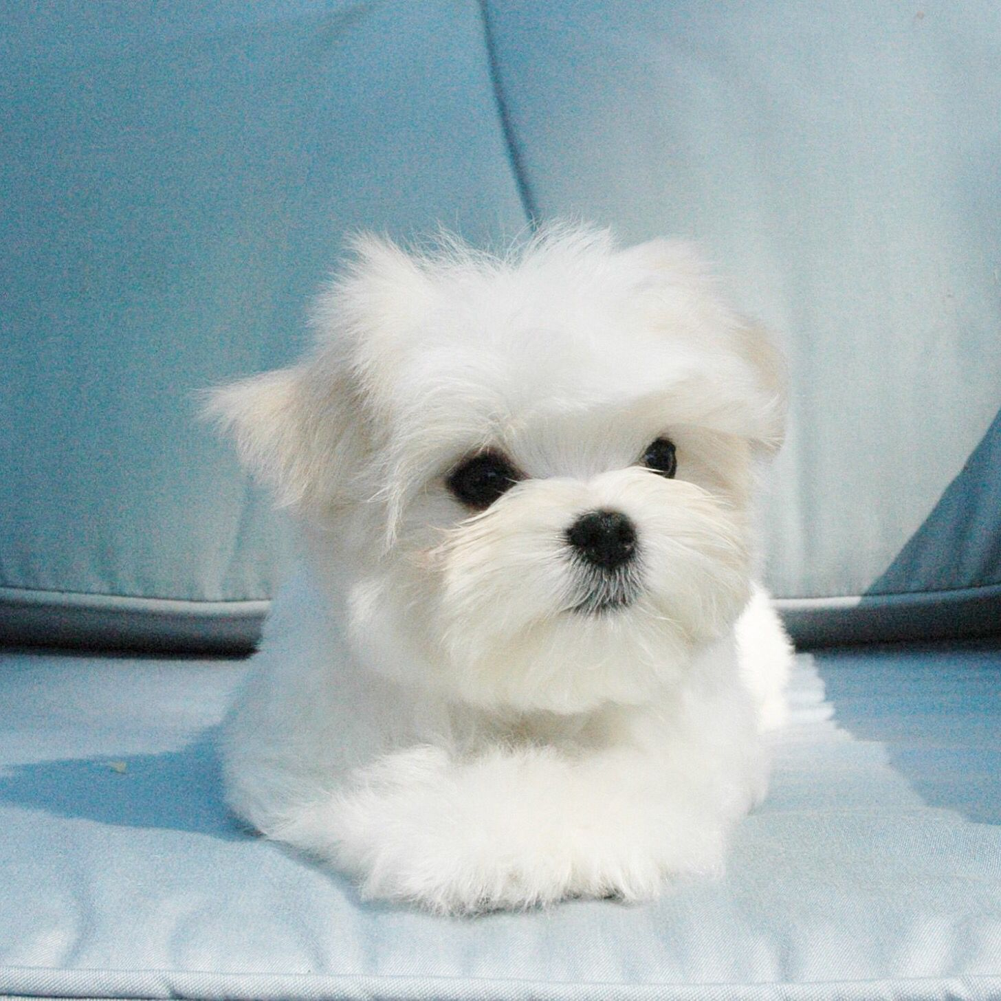 Pippin A Chrisman Maltese Ready To Go To His New Forever Home