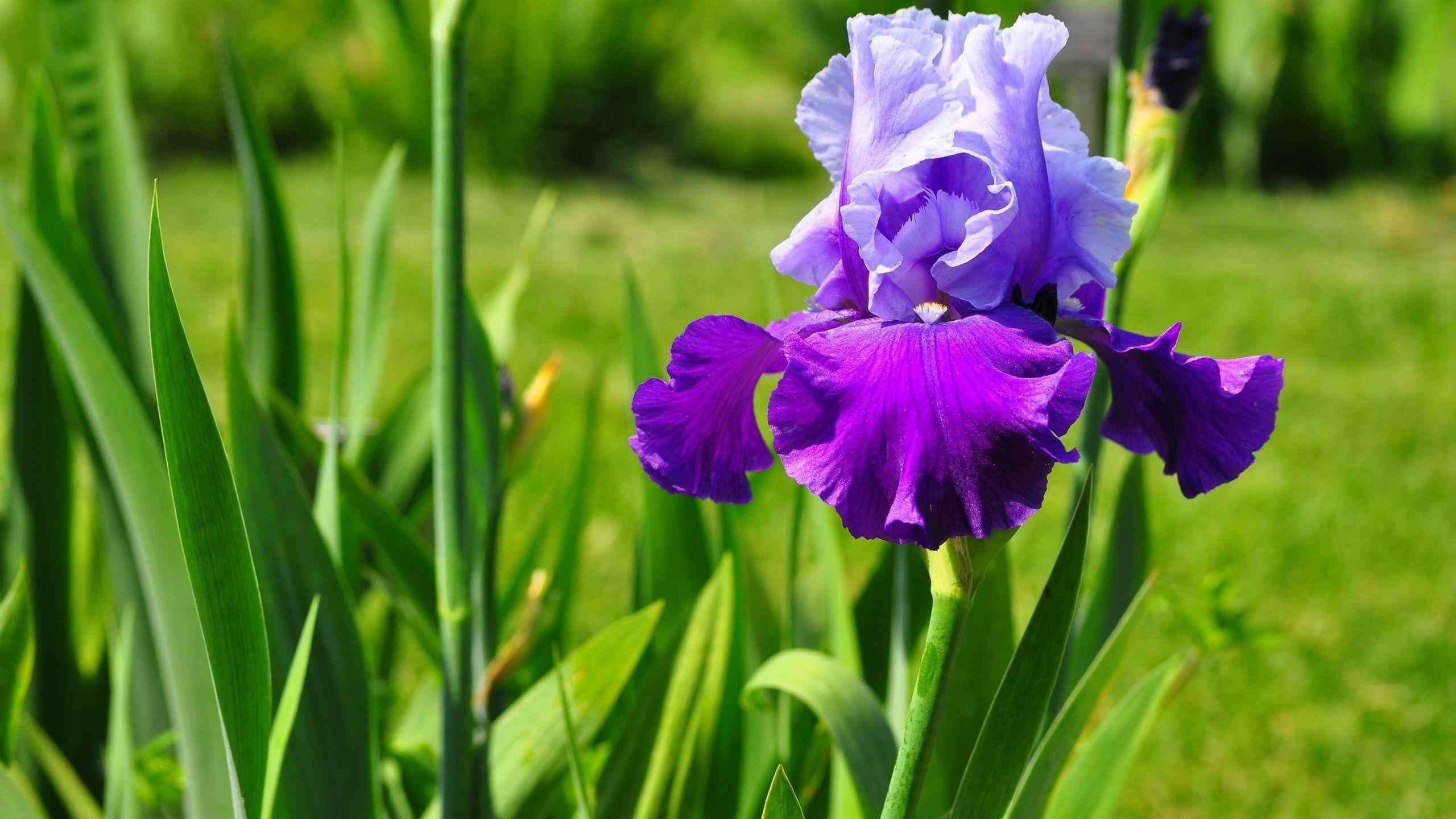 Lirio Do Campo Lamentos De Alma Pinterest Flowers Iris