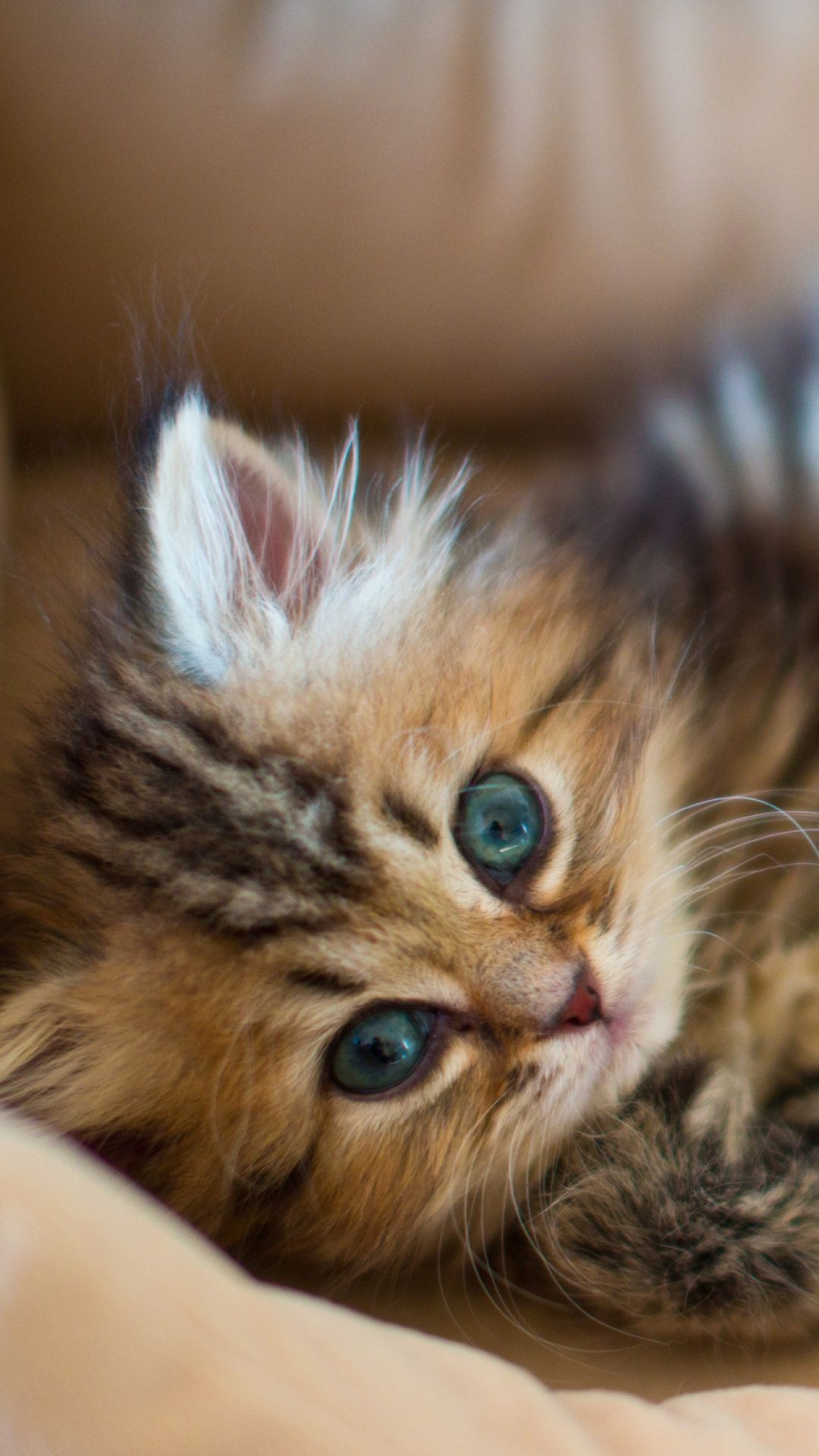 Kitty Fluffy Face Down Playful Kittens Kitten Images Pets