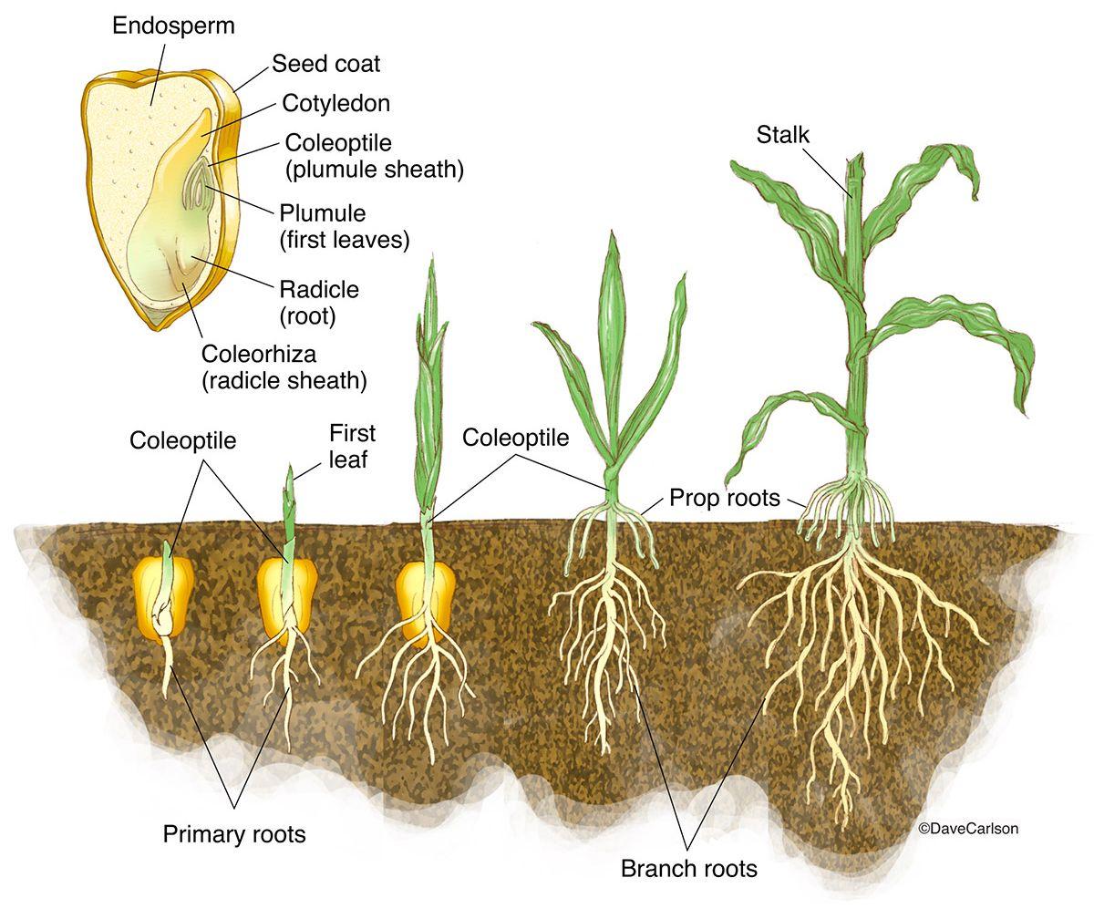 Monocot Germination Corn Seedling Photo Biology Plants Plant Science Botany