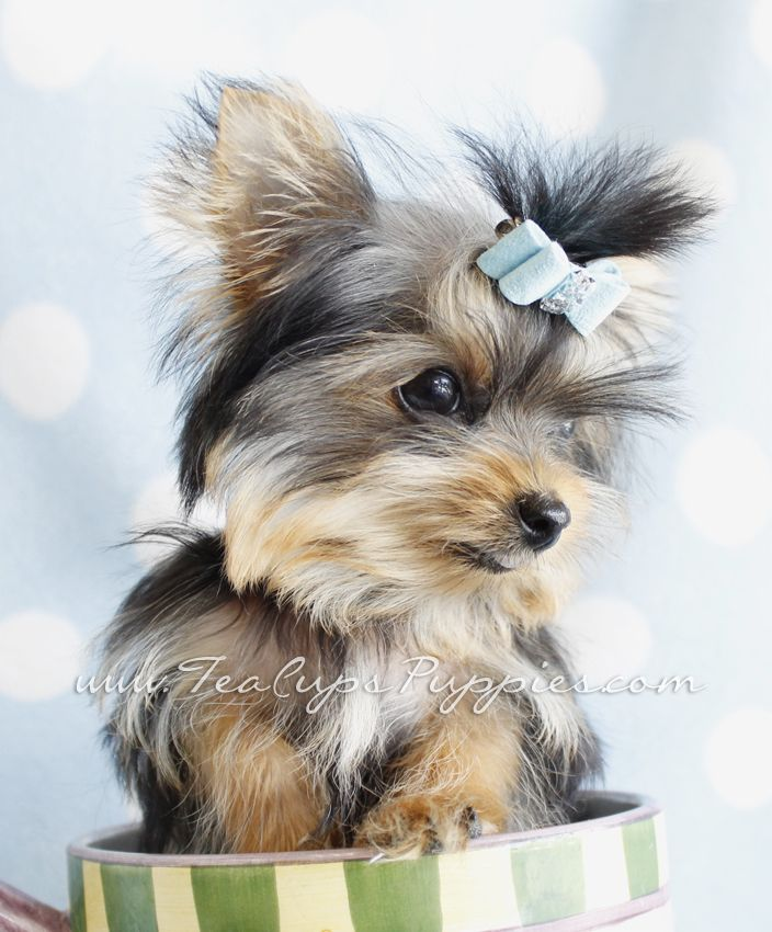 5 Month Old Teacup Yorkie By Teacupspuppies Com Puppy Love
