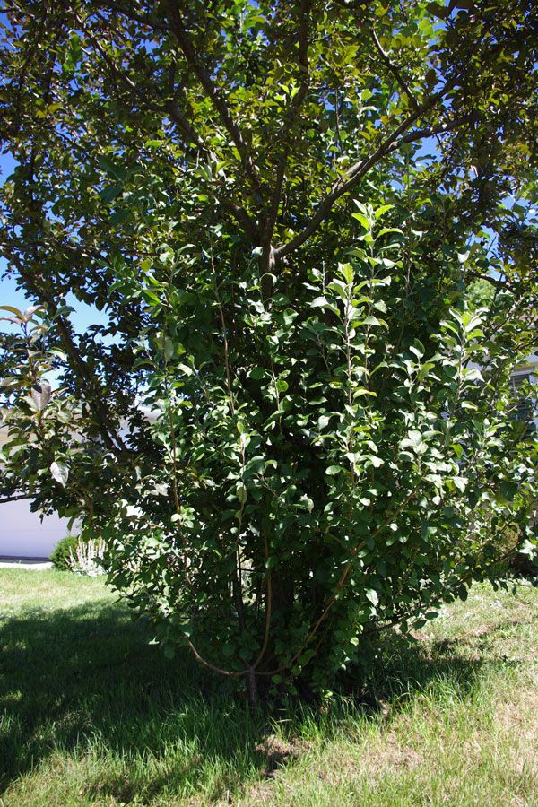 Crabapple Pruning In Four Easy Steps Overgrown No More Crab Apple Crabapple Tree Pruning Fruit Trees