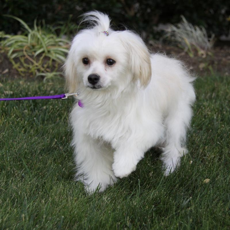 Adopt Laurel On Petfinder Maltese Dogs Adoption Dogs