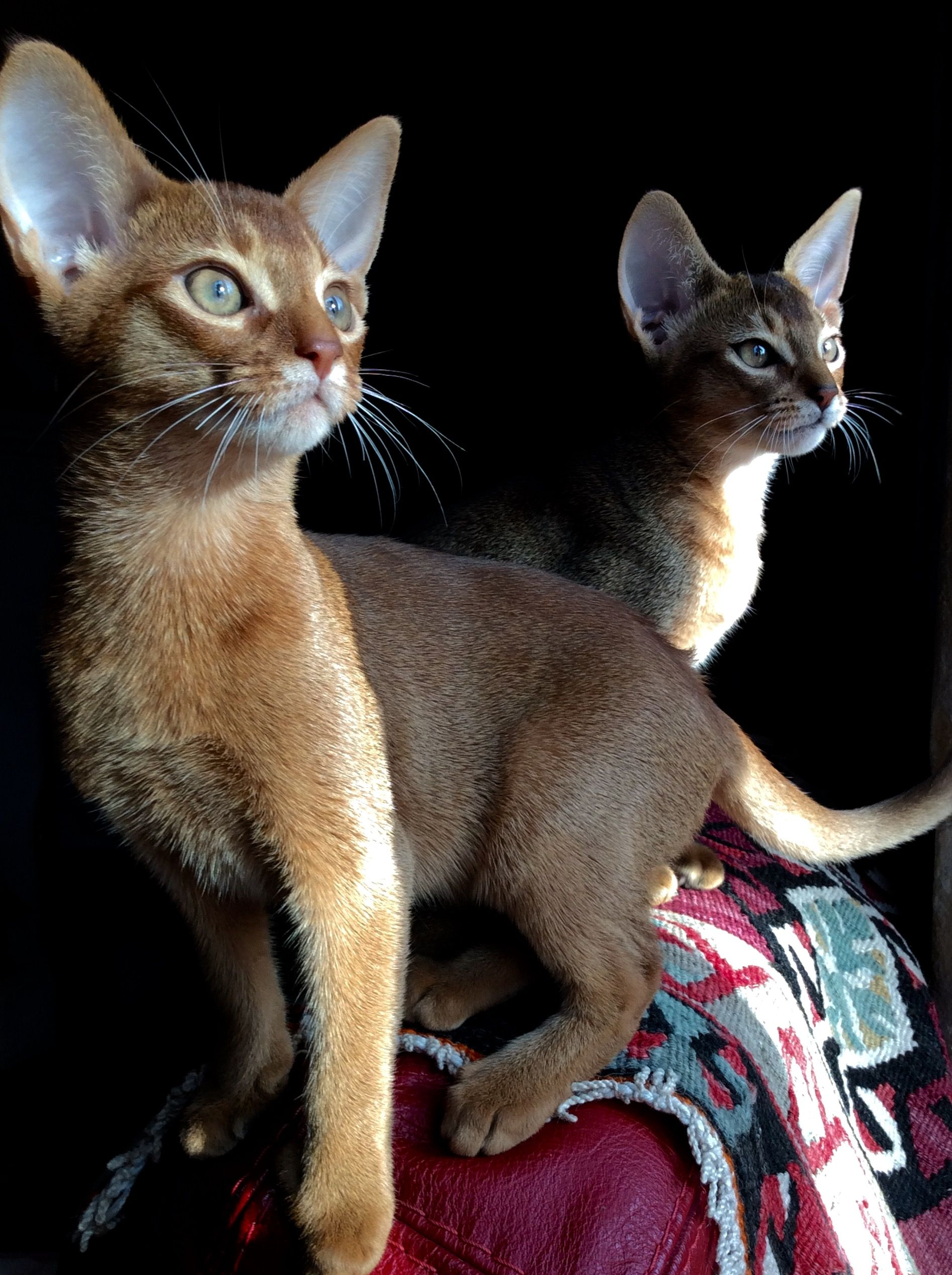 Abyssins | Abyssinians | Pinterest | Abyssinian, Cat and Somali