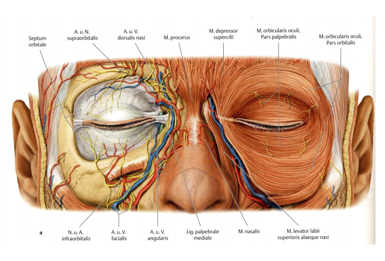 Blood Vessels And Nerves Of The Eye Region Branches Of The