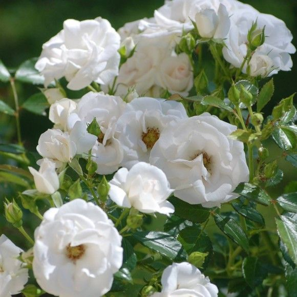 Aspirin With Images Rose Flowers Plants
