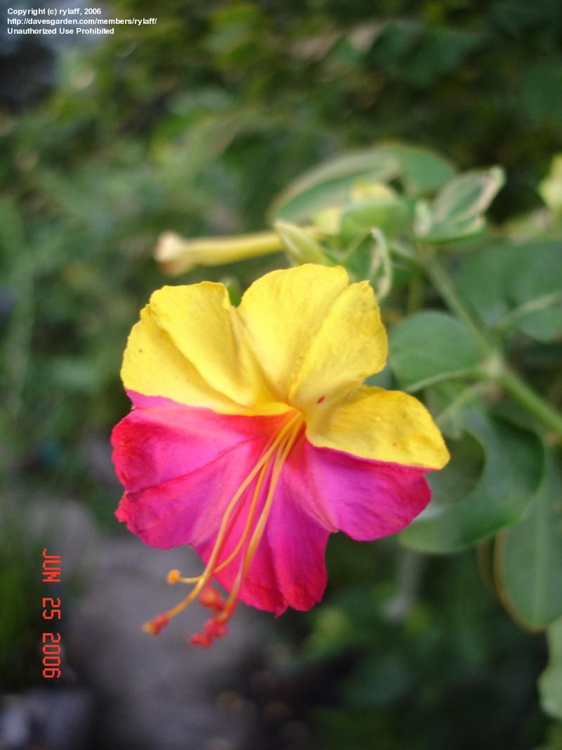 Mirabilis Jalapa The Four Oclock Flower Or Marvel Of Peru Is The