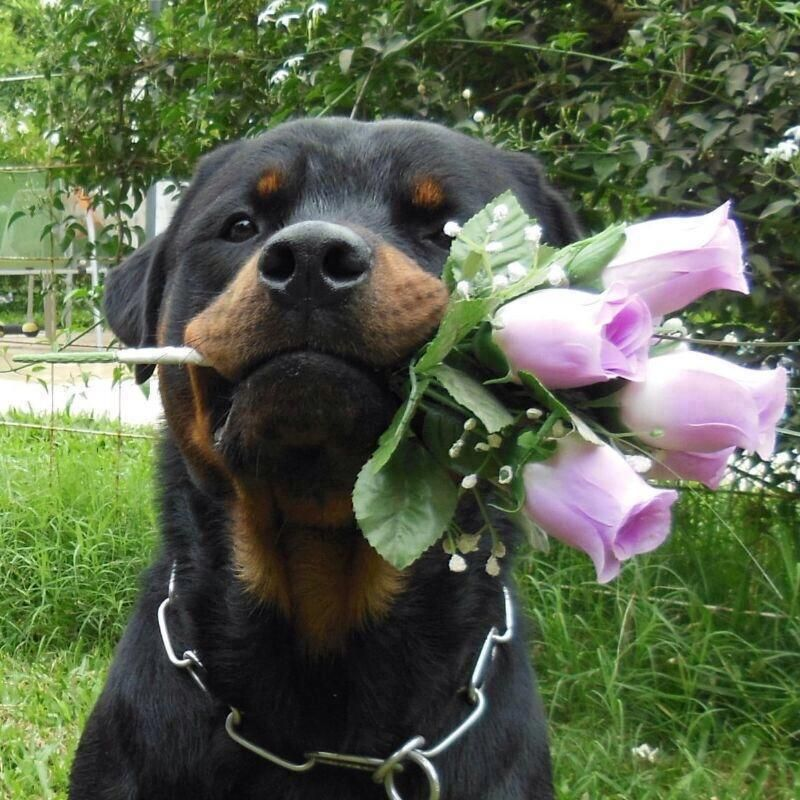 I Love You Rottweiler Jpg 800 800 Rottweiler Rottweiler