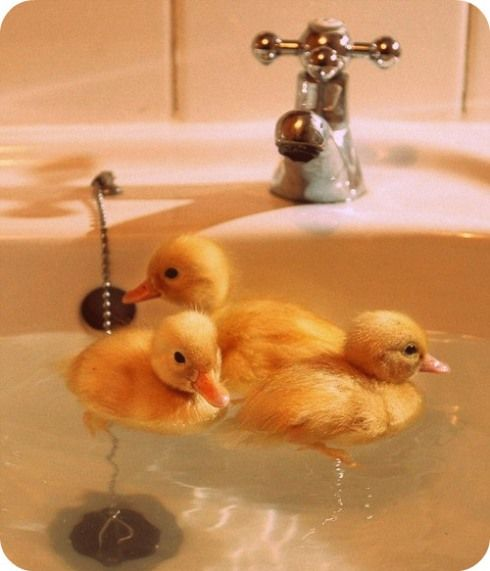 I want to raise my own ducks. Seriously. Lots of them. And when they're really little, they shall live in my bathtub :-)