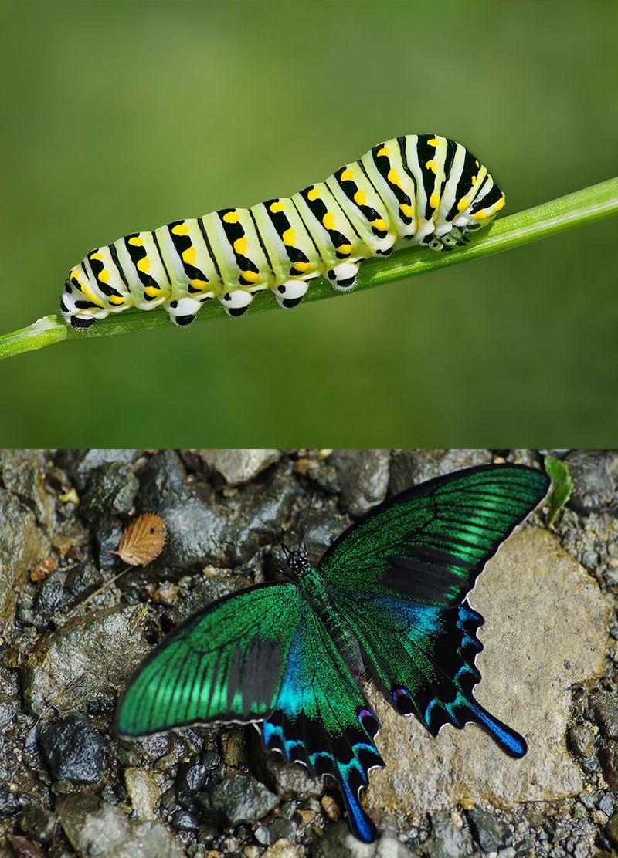 Гусеницы и бабочки, в которых они превращаются Метелики