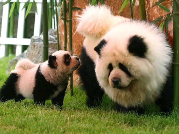 Although These Look Like Panda S They Are Actually Chow Chow Dogs