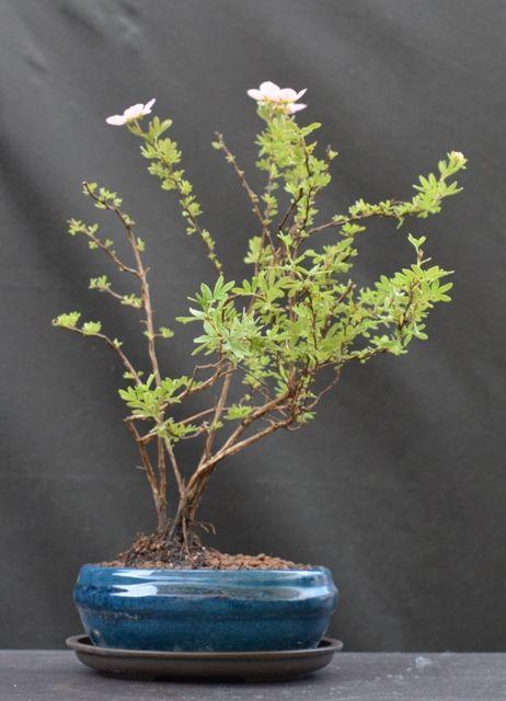 Nátržník krovitý - Potentilla fruticosa