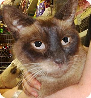 Pictures of Maxinne a Siamese for adoption in New York, NY who needs a loving home.