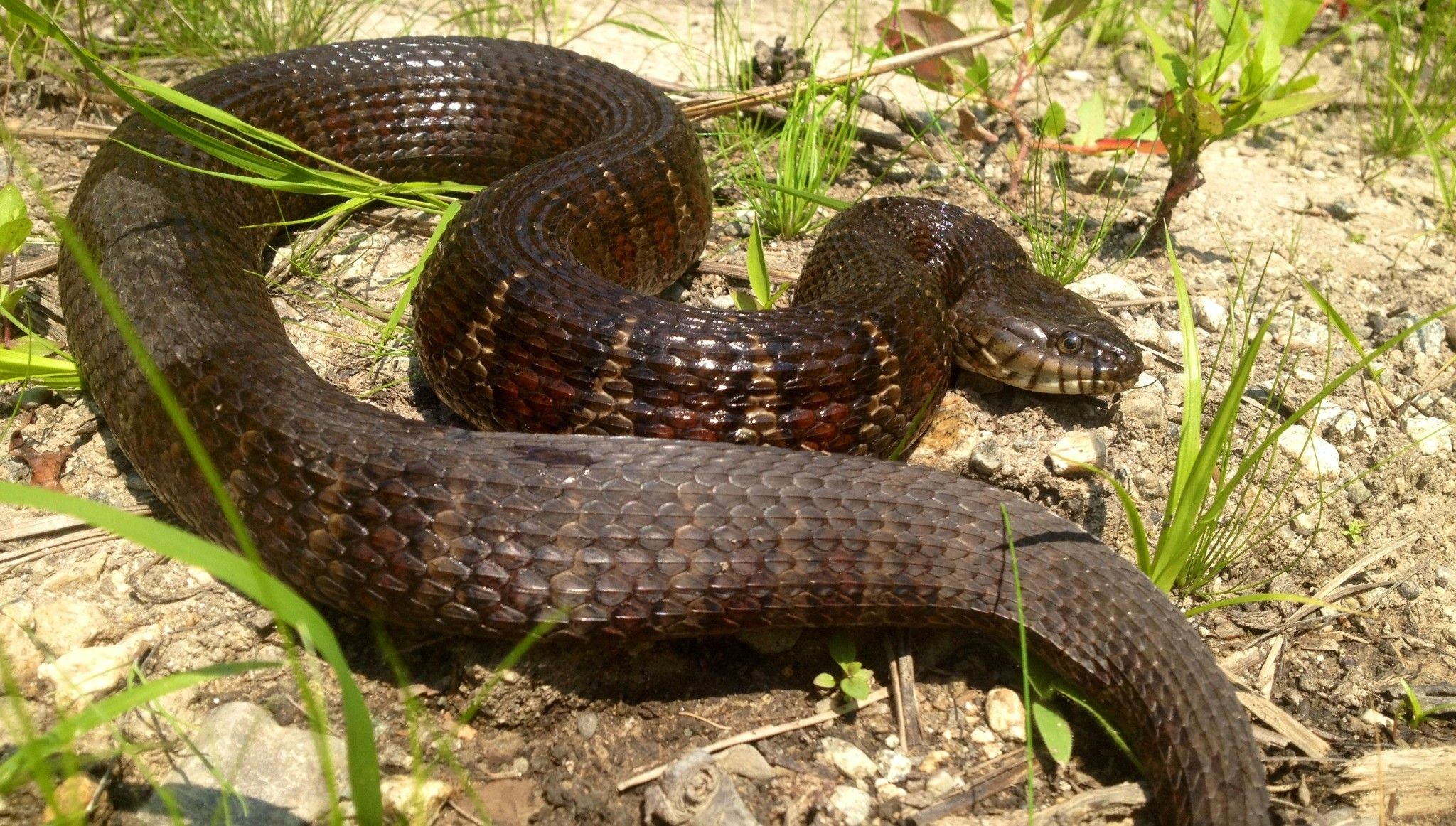 water snakes invading california threaten native species keeping