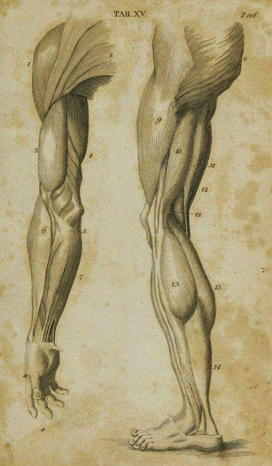 Pin von Chung Thuy auf Anatomy - ARMS | Pinterest