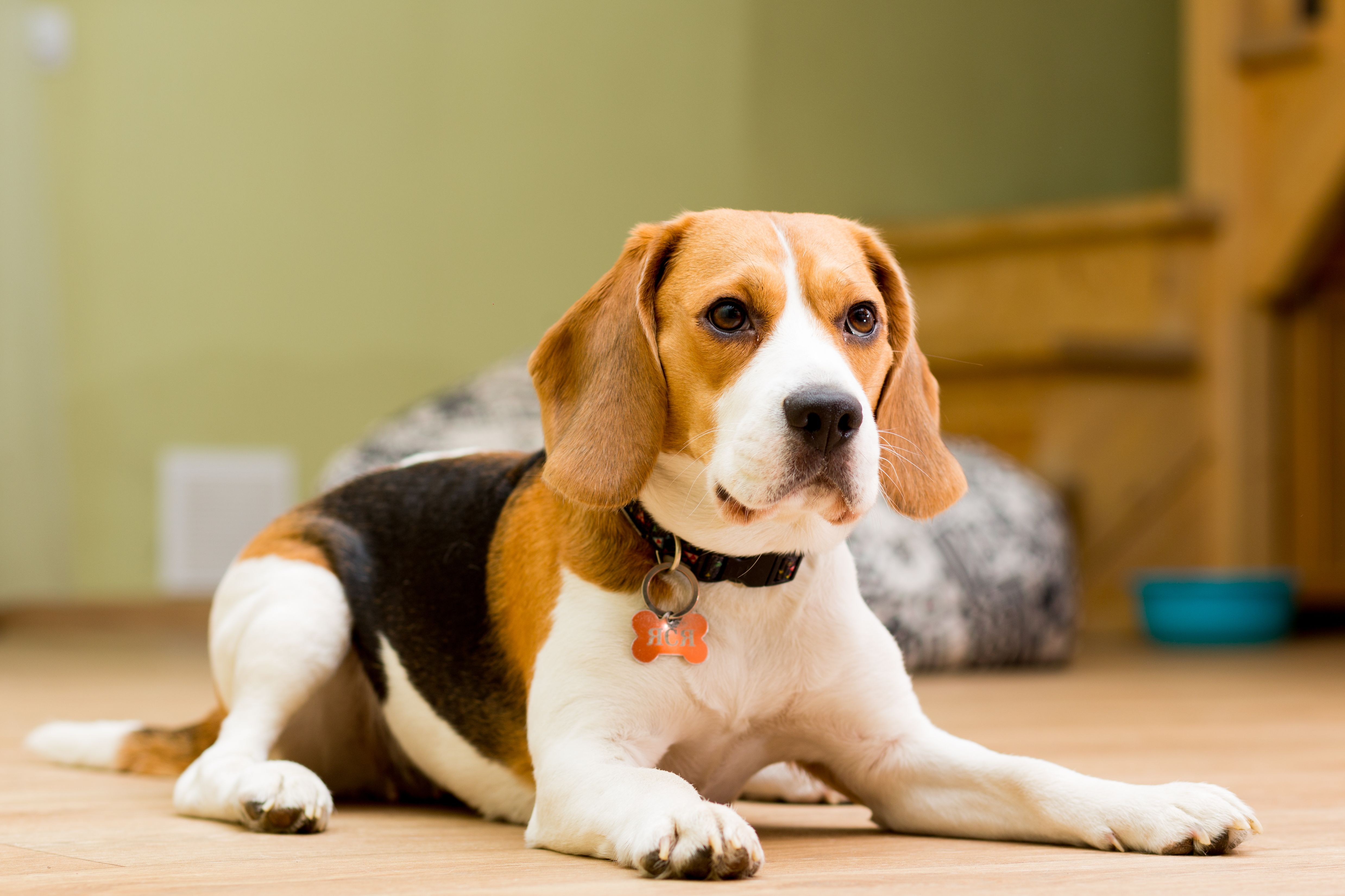 Beagle Dog Smells Best Dog Breeds Smelly Dog