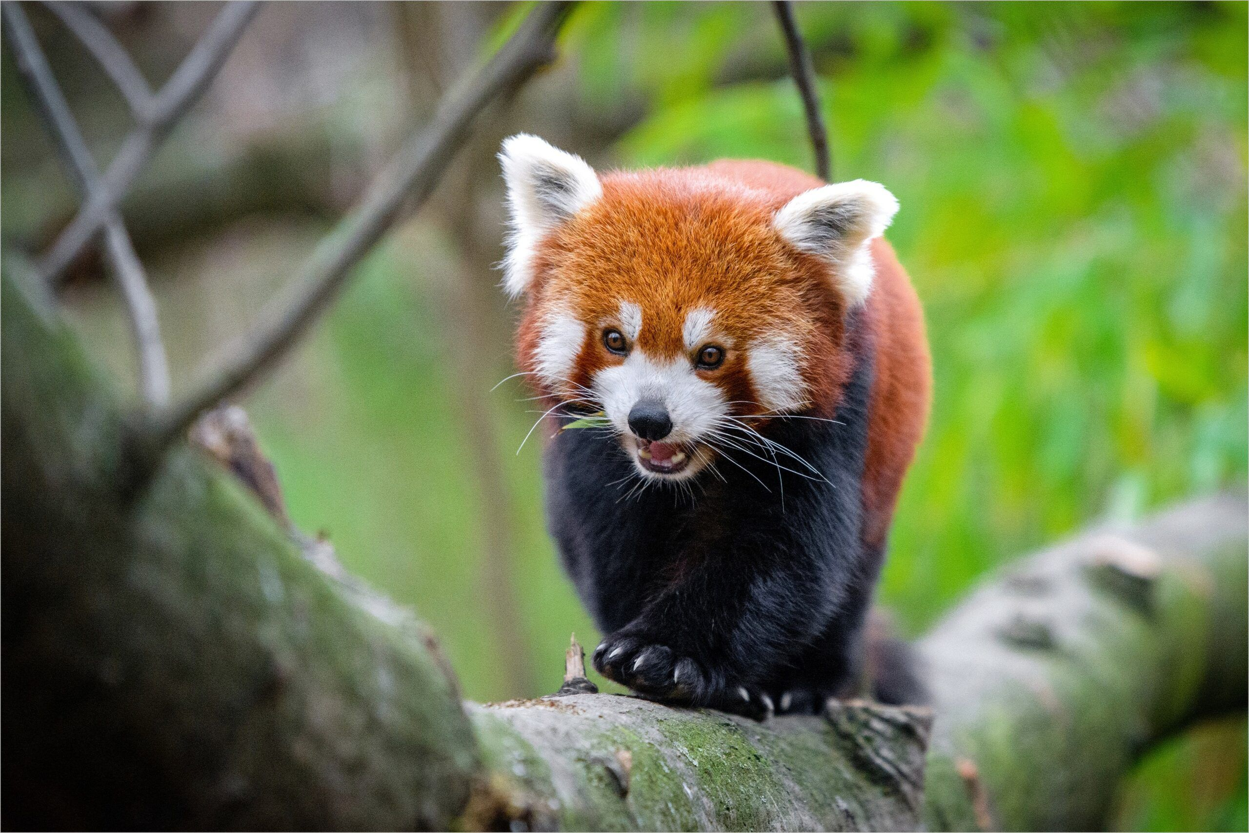 Red Panda Wallpaper 4k Panda Wallpapers Red Panda Free Hd Wallpapers