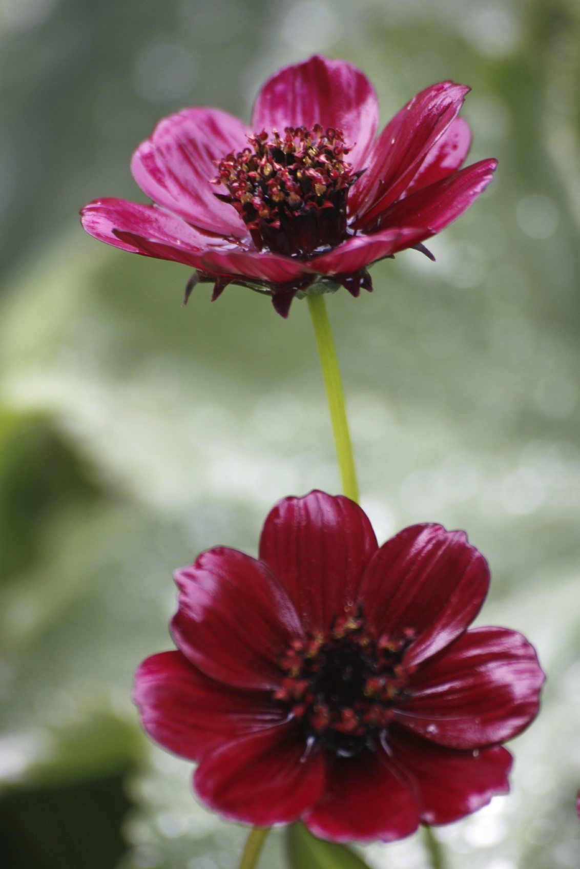 Caring For Chocolate Cosmos Plants Growing Chocolate Cosmos Flowers Cosmos Flowers