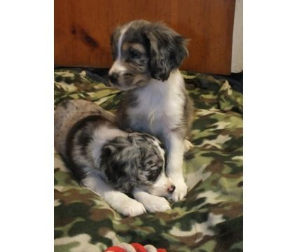 Dogs For Sale In Woodbridge New Jersey Miniature Australian