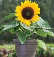 Miniature Sunflower For Pots Or Garden Grows To About 15 20 Love The Color And Shape Dwarf Sunflowers Planting Sunflowers Sunflower Garden