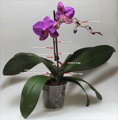 pflege von phalaenopsis orchideen pflege phals pinterest orchids plants und orchid care. Black Bedroom Furniture Sets. Home Design Ideas