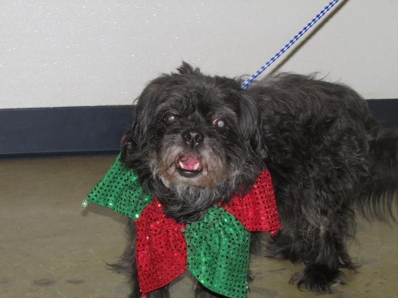Meet Buddy, an adoptable Lhasa Apso looking for a forever home. If you're looking for a new pet to adopt or want information on how to get involved with adoptable pets, Petfinder.com is a great resource.
