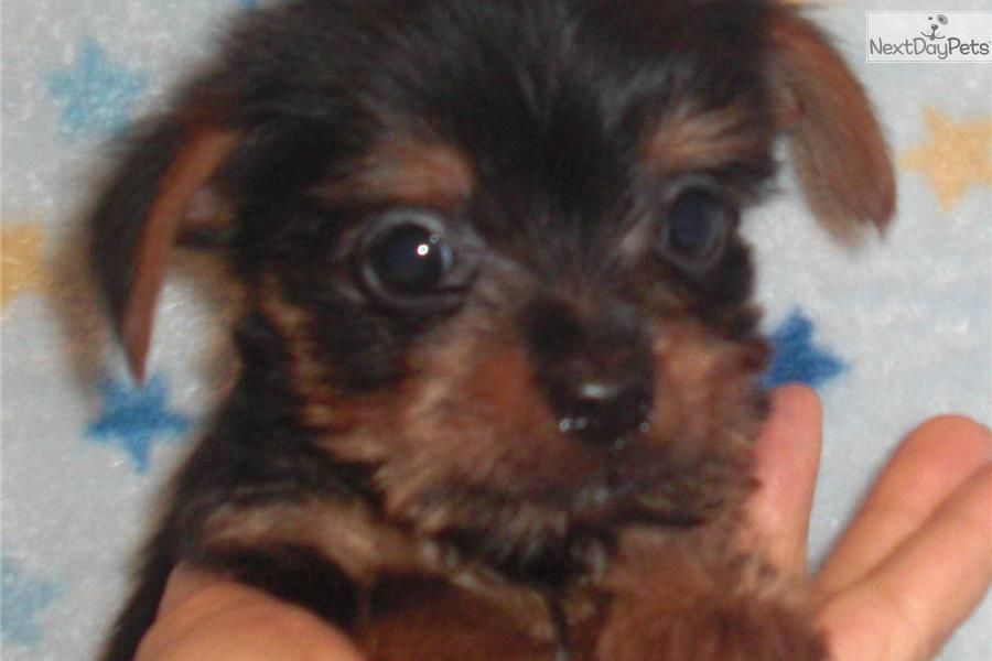 Beautiful Teacup Yorkie In Indiana Kentucky Yorkshire Puppies Yorkie Yorkie Puppy For Sale