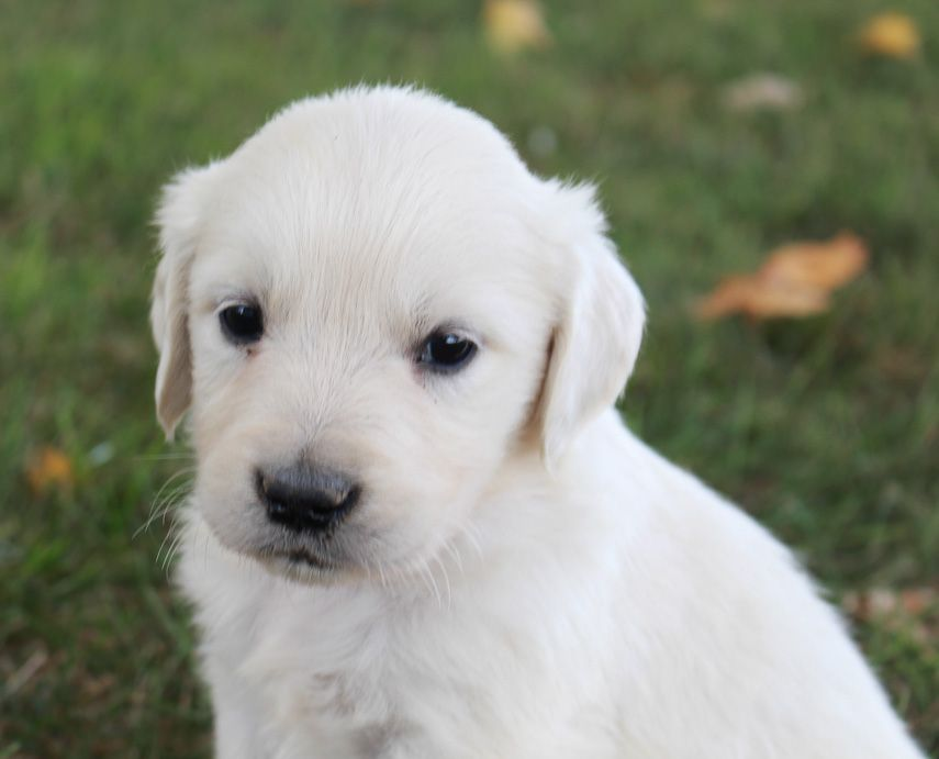Zeke Akc Male Golden Retriever Puppy For Sale Near Fort Wayne