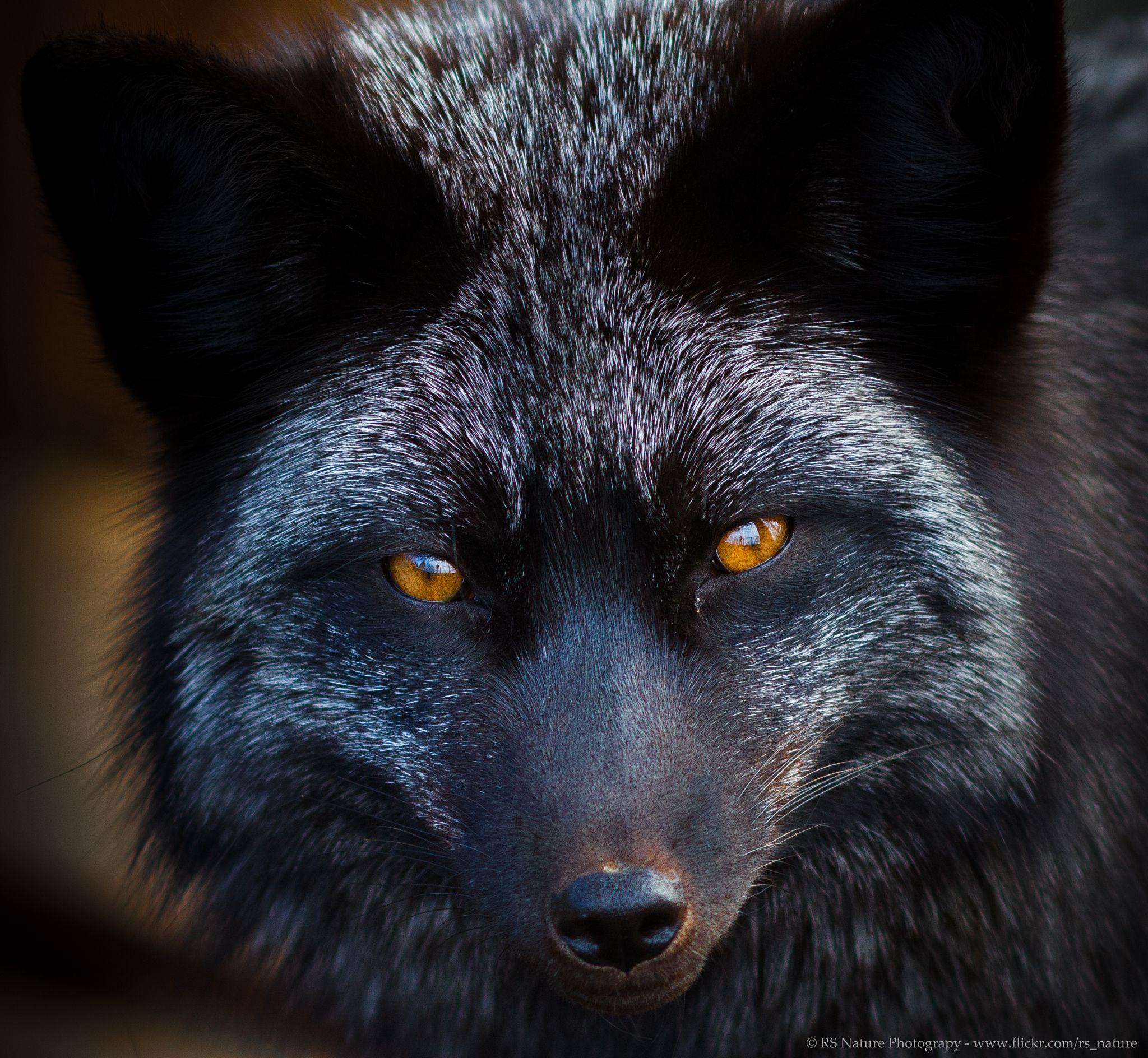 Silver Fox By Ralf Seelert On 500px