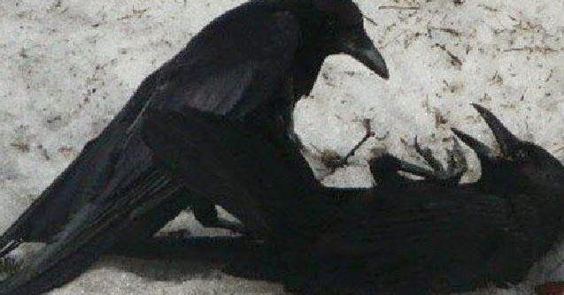 Kecerdikan Dan Keajaiban Burung Gagak Burung Gagak Burung Gagak