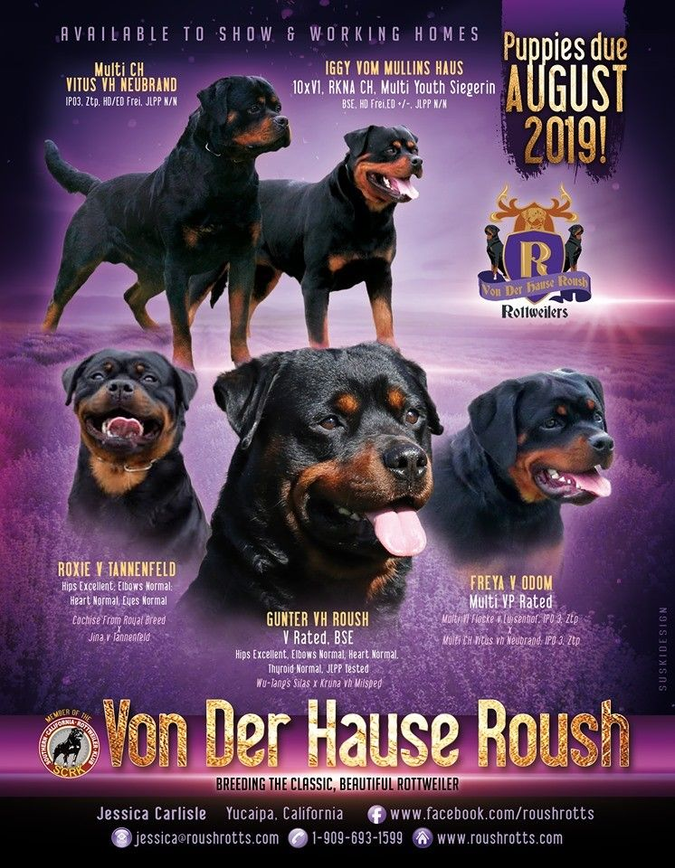 Von Der Hause Roush Rottweilers Breeding The Classic Beautiful