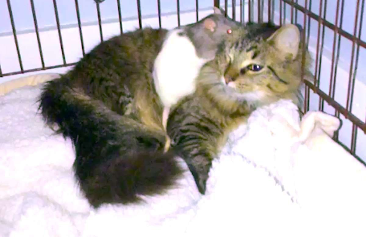 Woman Catches Her Cat Sneaking Off To Snuggle With Her Pet Rat Pet Rats Pets Cats