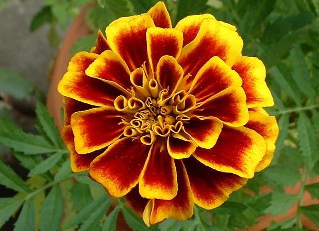 October Birth Flower Marigold Marigold Flower October Birth
