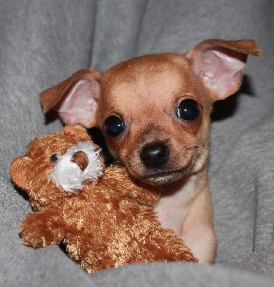 Pin By Michele Rutter On For Teeka Chihuahua Puppies Cute Dogs