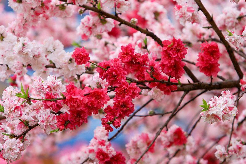 Welcome To Macon Georgia Georgia Tourism From Gateway Macon Cherry Blossom Festival Cherry Blossom Flowers Cherry Blossom Season