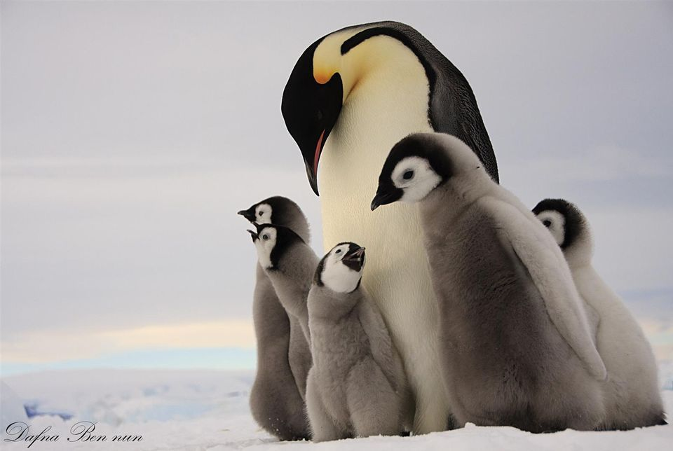 Emperor Penguin | Emperor penguin, Pictures and Penguin facts