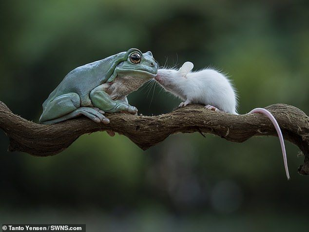 The tiny rodent to sniffs and kisses the frog after avoiding his dinner plate in Jakarta, ...