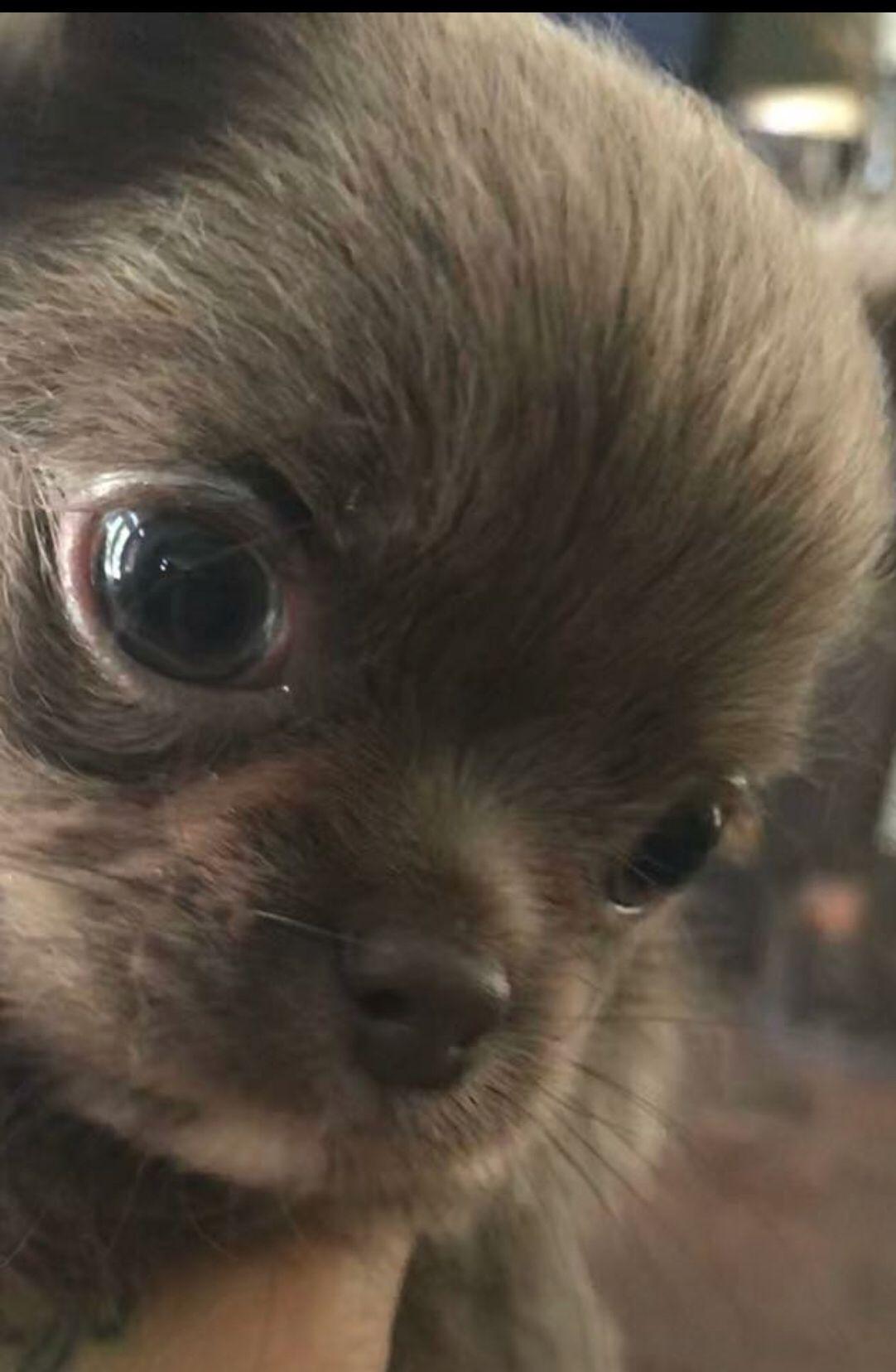Blue Chocolate Tiny Chihuahua From Las Vegas Breeder Chihuahua