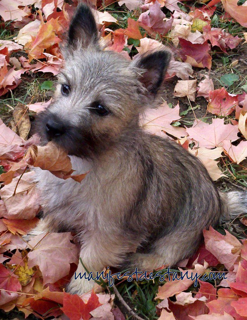 Cairn Puppy Cairn Terrier Puppies Terrier Puppies Dogs